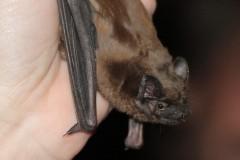 Ochočený handicapovaný netopýr rezavý - Anežka.